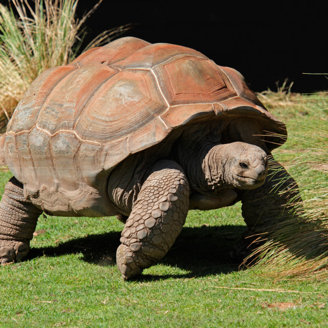 """Giant Galapagos tortoise"" stock image"