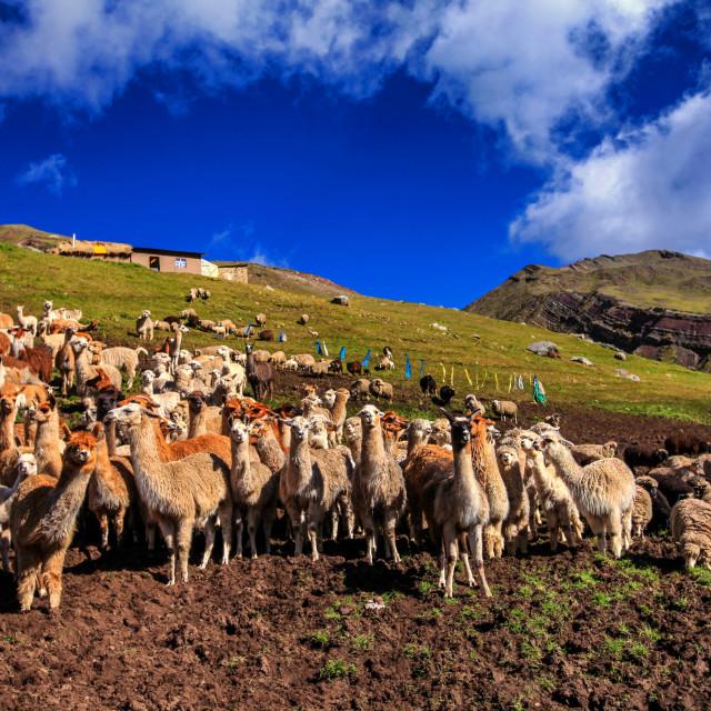 """""""Llamas"""" stock image"""
