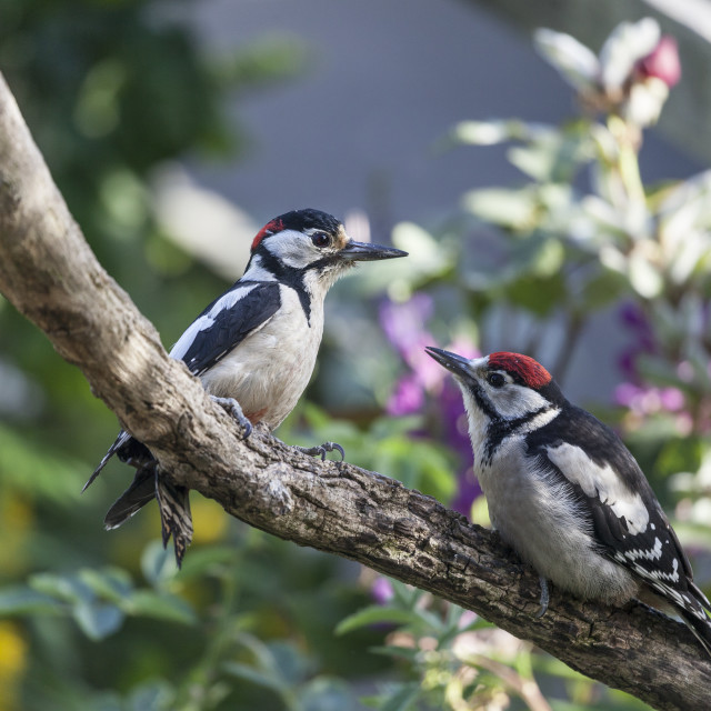 """Male Great Spotted Woodpecker and Young"" stock image"