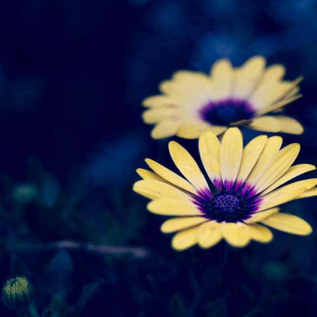 """""""Close up of yellow Osteopermum flowers blooming outdoors"""" stock image"""