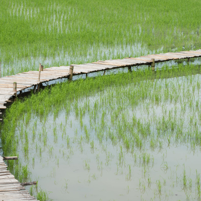 """Rice field with bamboo bridge"" stock image"