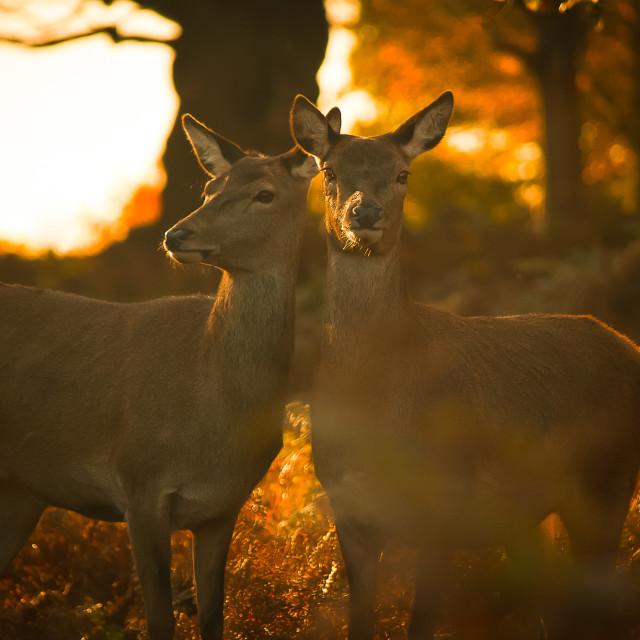 """The Lovers - Richmond Park, London"" stock image"