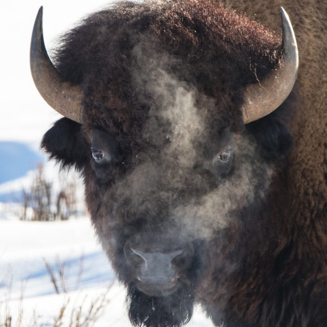 """Bison"" stock image"