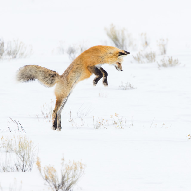 """Red fox jumping in snow field"" stock image"