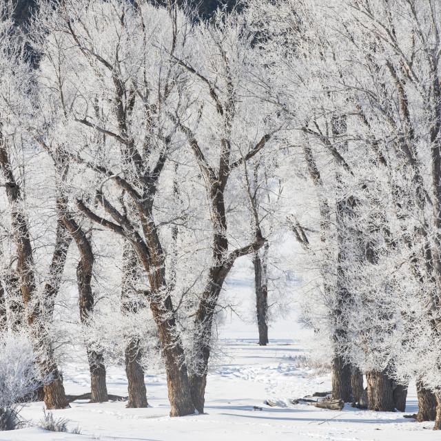 """Snowy trees"" stock image"