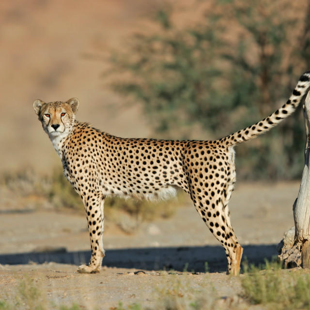 """Male cheetah marking territory"" stock image"