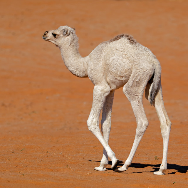 """""""Small camel calf on a sand dune"""" stock image"""