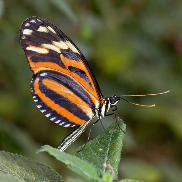"""""""Ismenius Tiger - Heliconius ismenius"""" stock image"""