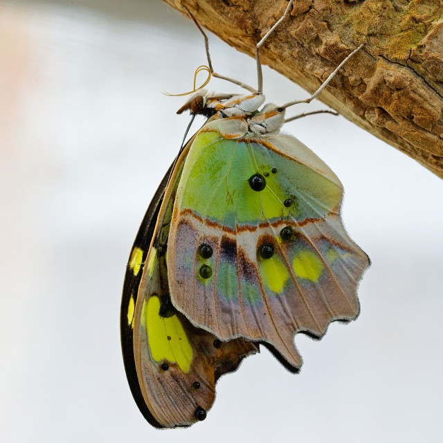 """""""The Malachite - Siproeta stelenes. Photographed at Stratford Butterfly Farm"""" stock image"""