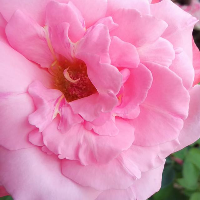 """pink rose | beautiful"" stock image"