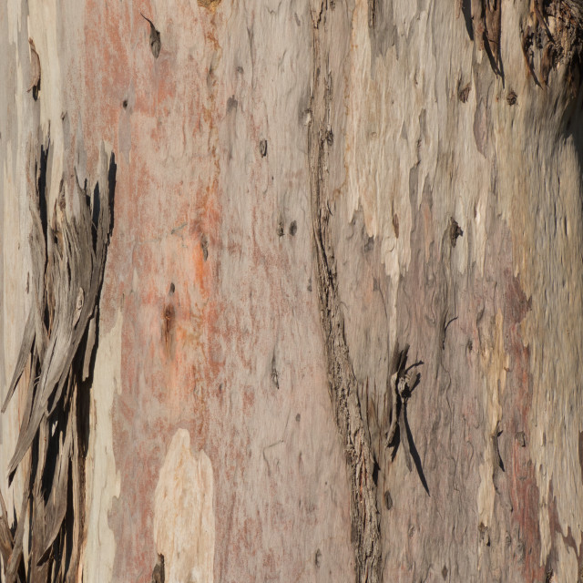 """""""A sturdy gum tree with it's bark stripped by the elements. Cape Town, South Africa."""" stock image"""