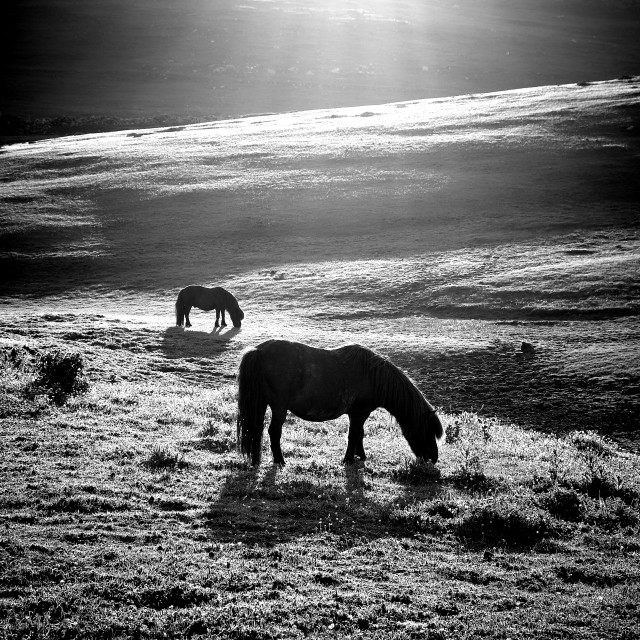 """Shetland Ponies Grazing In The Sun"" stock image"