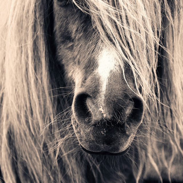 """Pony Portrait"" stock image"