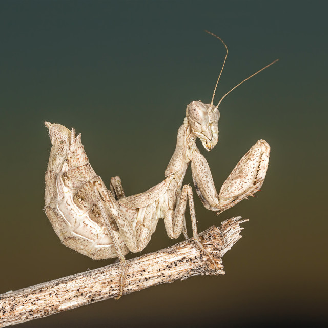 """Portrati of a Mantis"" stock image"