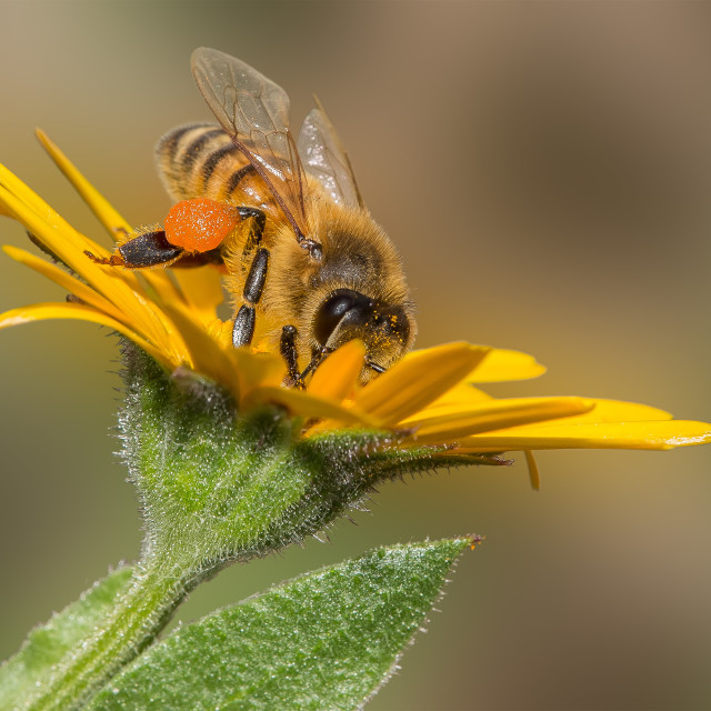 """Bee pollinating on a yellow flower"" stock image"