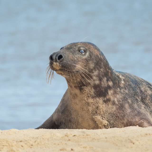 """grey seal basking"" stock image"