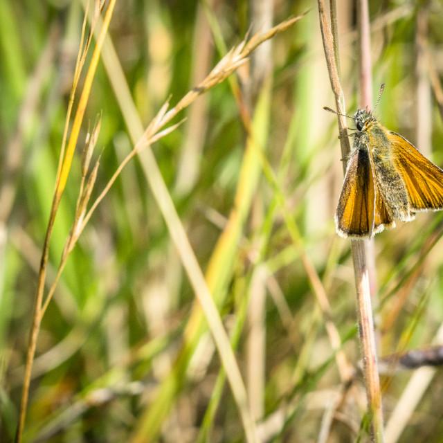 """Orange Venata moth hanging on a straw"" stock image"