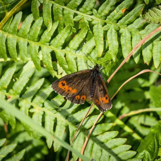 """""""Arran brown butterfly on a large green leaf"""" stock image"""