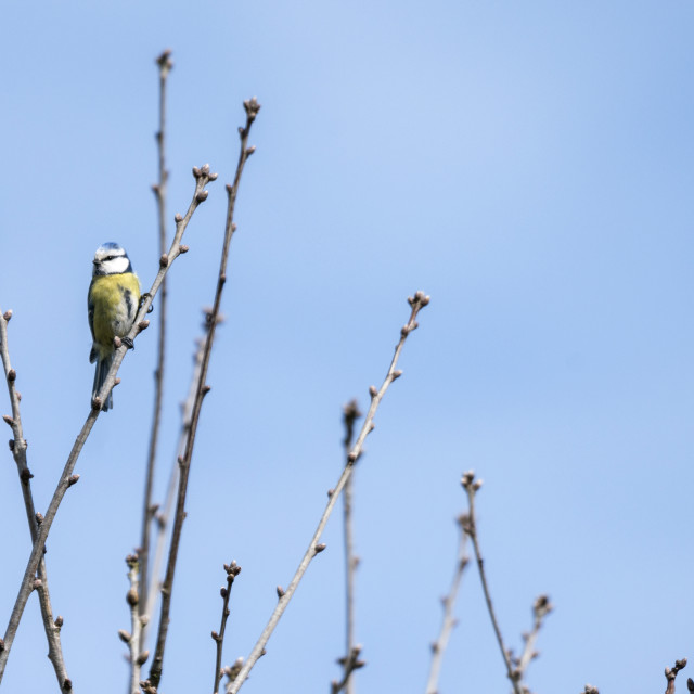 """Blue tit on a small twig in the spring"" stock image"
