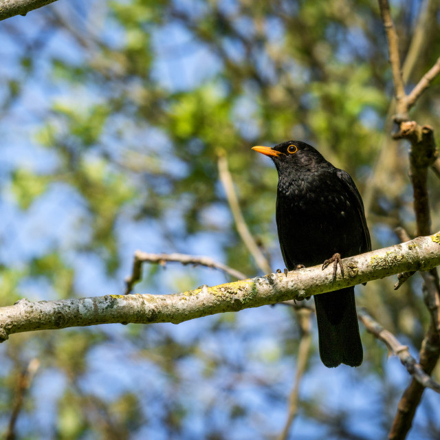 """Blackbird sitting on a branch in a tree"" stock image"