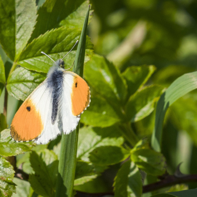 """Orange tip butterfly on a grass straw"" stock image"