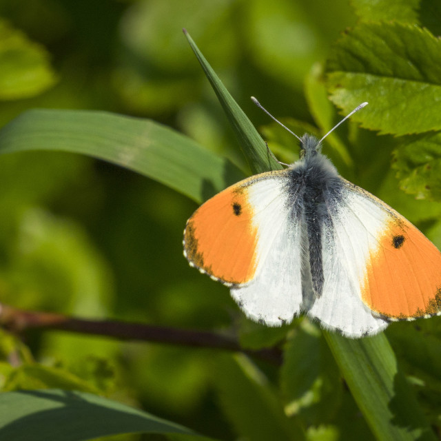 """Orange tip butterfly on a green leaf"" stock image"