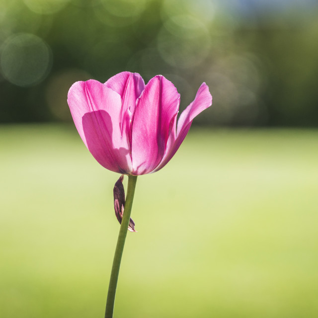 """Tulip flower in a green garden"" stock image"