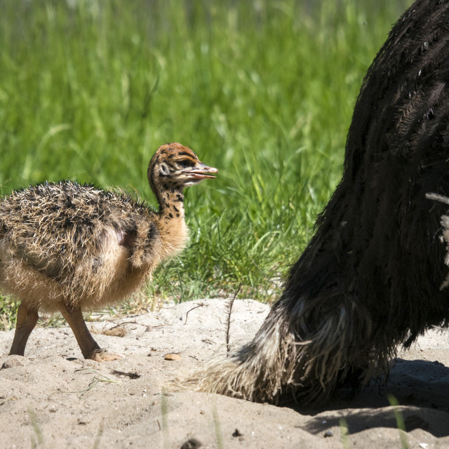 """Young ostrich chicken walking in sand"" stock image"