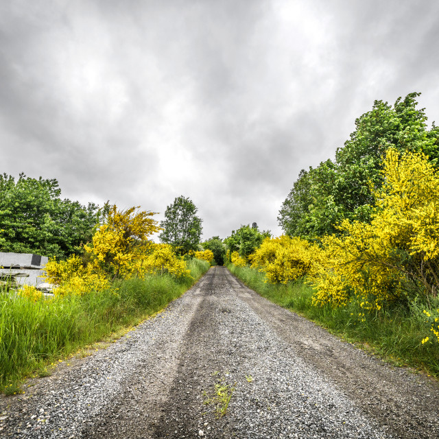 """Road surrounded by yellow broom bushes"" stock image"