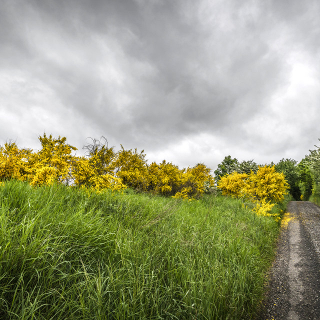 """Yellow brrom bushes by a roadside in cloudy weather"" stock image"