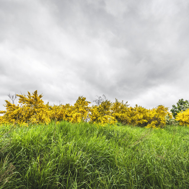 """Yellow broom bushes in green grass"" stock image"