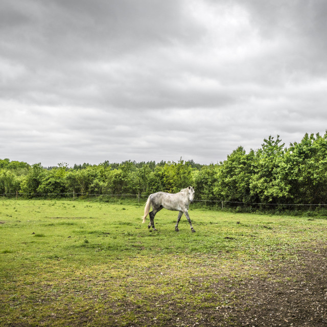 """White horse walking on a field with a fence"" stock image"