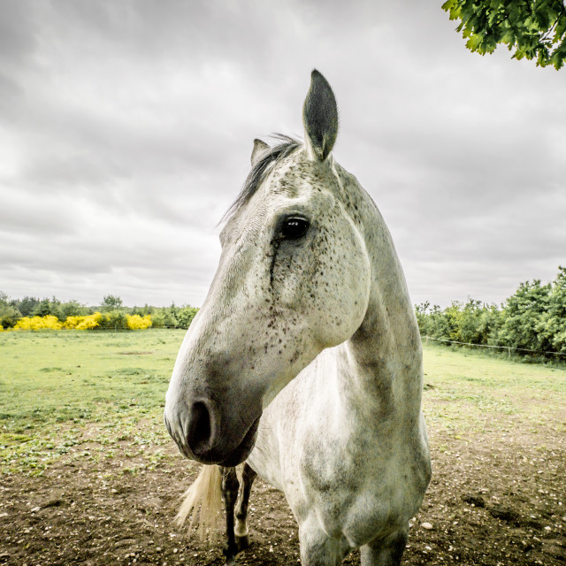 """Horse close-up on a field in cloudy weather"" stock image"