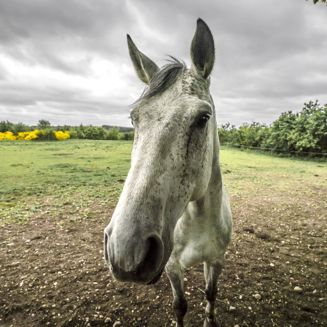 """Close-up of a white horse on a rural field"" stock image"