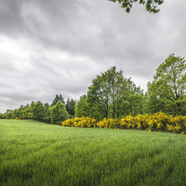 """Landscape with green fields and yellow broom bushes"" stock image"