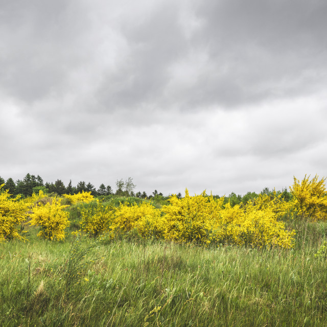 """Broom bushes in beautiful yellow colors on a green meadow"" stock image"