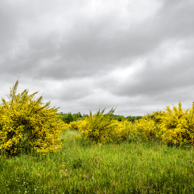 """Yellow broom bushes on a green field"" stock image"