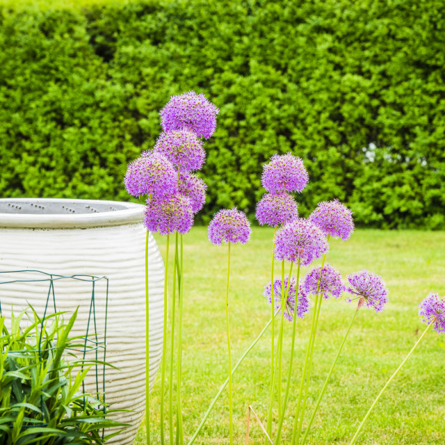 """Allium Giganteum flowers in a garden"" stock image"