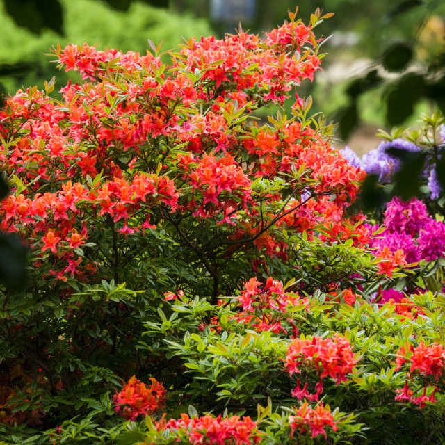 """Colorful flowers in a garden on a bush"" stock image"