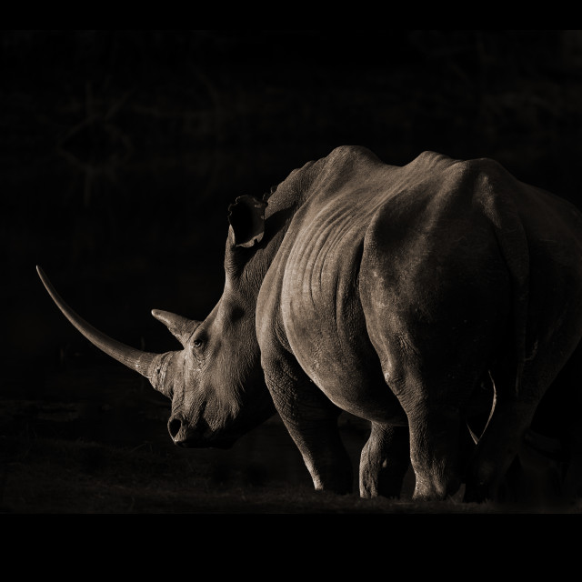 """Rhino in the evening sun"" stock image"