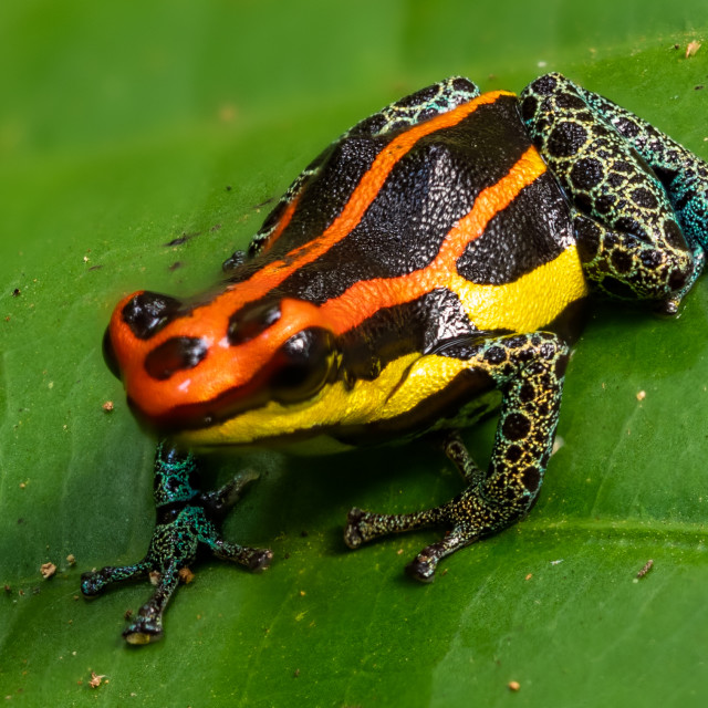 """Poison Dart Frog"" stock image"