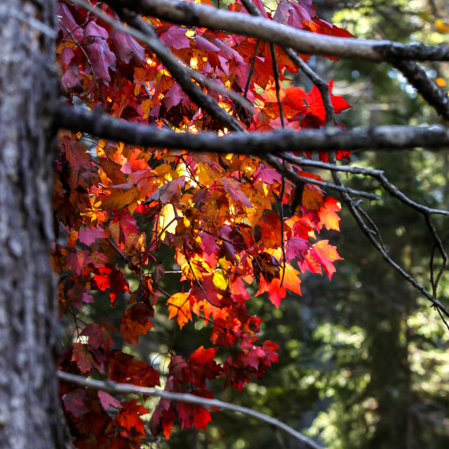 """""""Autumn leves with red colors"""" stock image"""