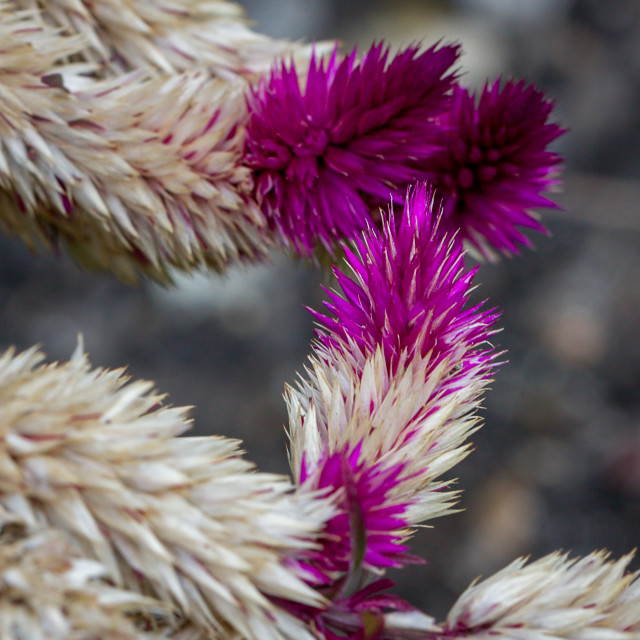 """""""Old fading Celosia plant"""" stock image"""