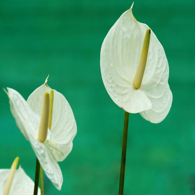 """White Painters Palette Flower"" stock image"
