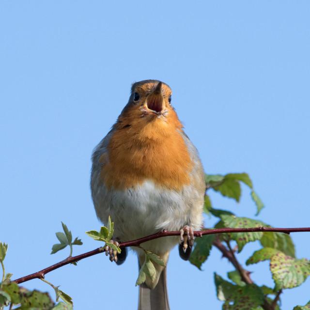 """""""Europen Robin"""" stock image"""