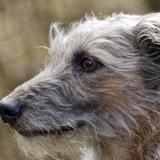 """Lurcher"" stock image"