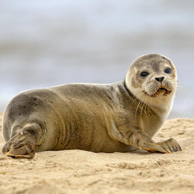 """Wild seal pup"" stock image"