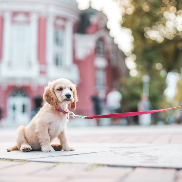 """Cocker Spaniel Puppy sitting on pavement in his home town"" stock image"