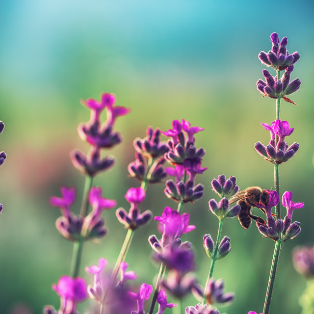 """Bee on a Lavender flower in the field"" stock image"