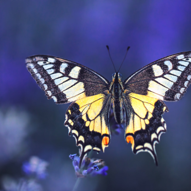 """Lavender flowers with buterfly"" stock image"